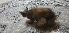 قطة للبيع نوع أنجورا