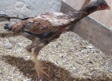 دجاج هراتي للبيع رس معروف