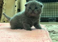 مطلوب قطه للتبني عمرها لايزيد عن 4اشهر