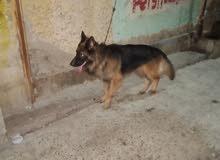 كلب جيرمن شون لاين
