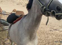 حصان شعبي الطول 7 ونص العمر 5 سنوات الطبع على يد الخيال السوم 3500
