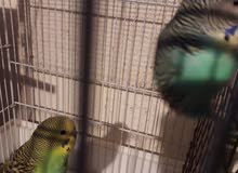 8طيور البادجي + 3 أقفاص صغيرة