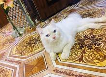 قط شيرازي للبيع عمر 9 اشهر . لون ابيض مطعم قليل بلون عسلي والعيون زرك