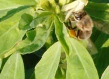 عسل طبيعي ٪٪
