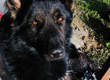 ابحث عن أنثى جيرمن شيبرد لونج هير من للتزاوج الكلب حقي جيرمن لونج هير لون مميز