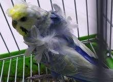 مطلوب طيور حب هاجرمو بزارات وبسعر مناسب