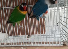 Active and Healthy. Green & Blue ready to breed Personata pair