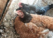 للبيع دجاج منتجات ا