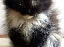 قطه فارسيه