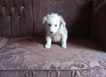 كلب انثاء فرنسي عمرها شهر
