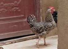 دجاجة زامبي