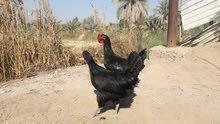 دجاج صومطره