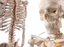 هيكل عظمي لطلبة الطب ، Anatomical Human Skeleton Model , 1/2 life size