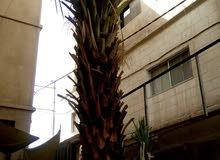 شجرة نخيل للبيع