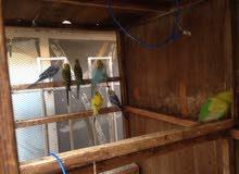 طيور حب عدد 7