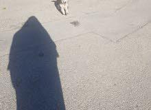 كلب هسكي مالموت للبيع