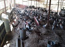 دجاج  و ديوك فيومي للبيع