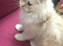 قطه للبيع عمرها ثلاث اشهر