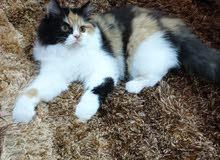 قطة انثى بيرشن كاليكو للبيع