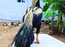 Parrot Beak Aseel Eggs