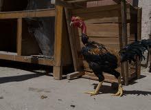 دجاجة وديج ابو ركيبة للبيع