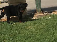 كلب روت واير بيور