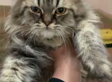 قط شيرزي صغير عمر4 شهور