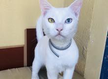 Khao Manee Kitten