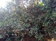 1150 شجرة ليمون