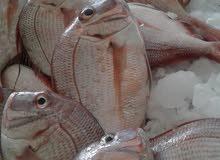 السلام عليكم ورحمة الله وبركاته زبائننا الكرام نعلنكم بأن الأسماك عندنا متوفرة و