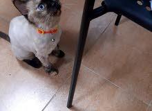 قطة للتبني adoption cat