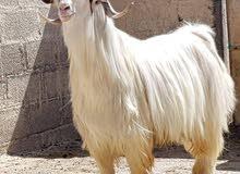 اغنام و ماعز و ابقار عمانية جبلية للبيع