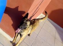 كلبة مالينوا