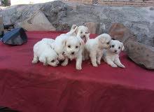 كلاب امريكي مهجن من فصيله روسي نادره العمر شهر ونص