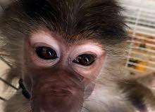 monkey babion 6 month مع كامل اغراضها من ملابس وقفص