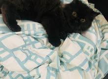 قطة للبيع ، cat for sale
