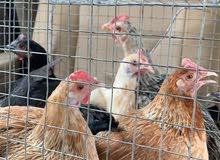 دجاج بلدي للبيع عشر دجاج وديك فحل