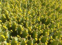 عسل الزقوم طبيعي منطقة ايت عتاب