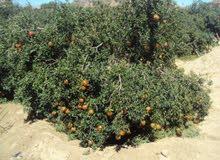 مطلوب عمال لمزرعة فواكهة بوادي النطرون
