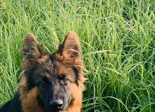 German shepherds sholain long hair king size black face