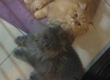 قطتان بيكي فيس للتبني معا
