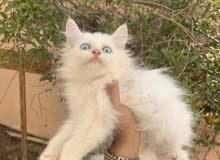 قطهً شيرازيهً للبيع
