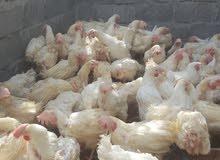 دجاج هولندي الابيض البياض