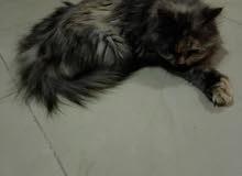 قطوة شيرازية حامل من شيرازي بيور