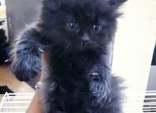 قطط  هملايا اناثي