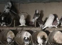 طيور للبيع جميلة جدا
