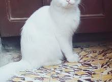 Turkish angora قطة