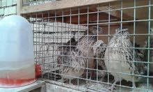 دجاج سمان مع افراخ سمان للبيع