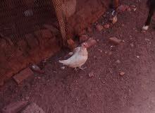 دجاج لي البيع