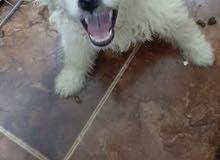 كلبه جريفون الماني عمر 2شهر واخده تطتيم ديدان وحشرات  حبوبه اوي وجميله وتحب اللعب مع الاطفال